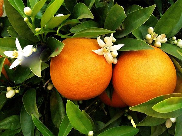 橙子的营养价值高么?吃的时候要注意什么?-第1张图片