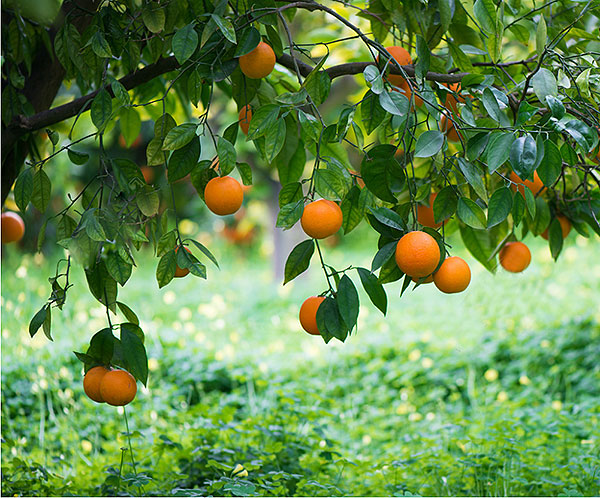 怎样才能买到美味的橙子?-第1张图片