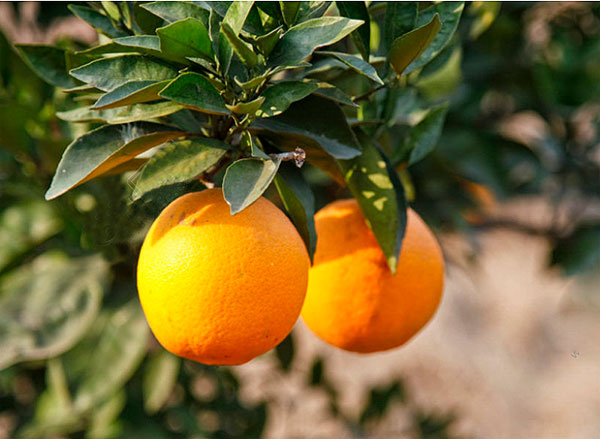 怎么判断橙子的新鲜程度?-第1张图片