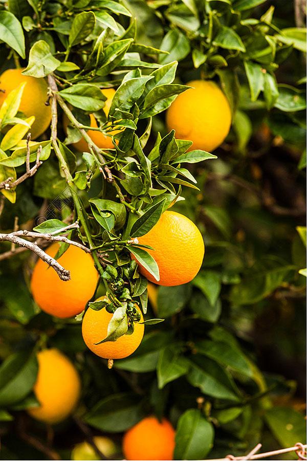 橙子和橘子的区别有哪些?-第1张图片