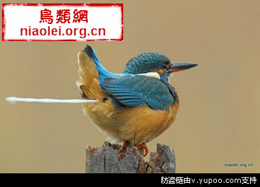 澳洲笑翠鸟 | niaolei.org.cn 鸟类网图片