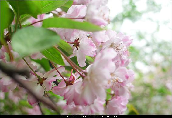 樱花初会(拍摄日期:2013年3月14日)