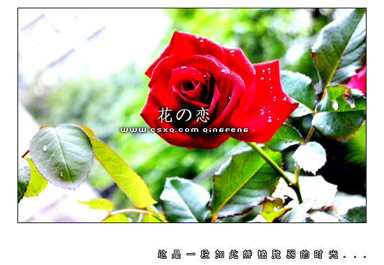 花の恋(拍摄日期:2003年10月16-20日)