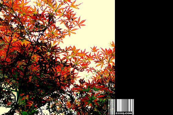 西风吹老丹枫树(拍摄日期:2009年6月28日)