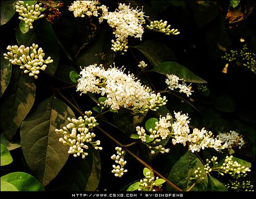 盛世·七里香(拍摄日期:2006年4月17日)