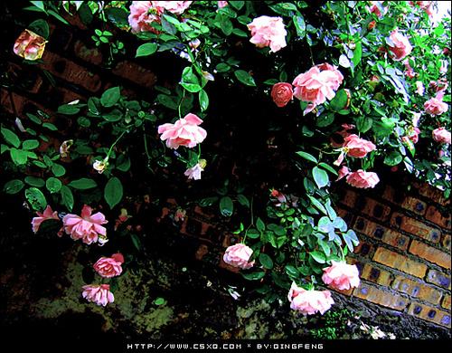 蔷薇花下(拍摄日期:2008年4月13日)