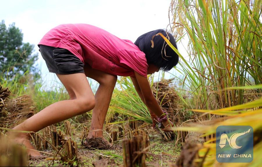 留守儿童-手工收割水稻