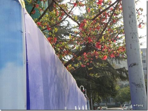 一枝红杏出墙来|艳阳天——悠闲的川大望江校区