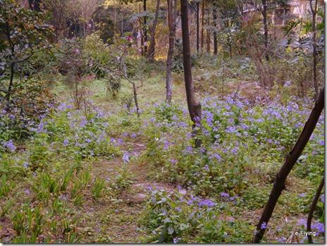 楼间空地上盛开的紫色小花|艳阳天——悠闲的川大望江校区