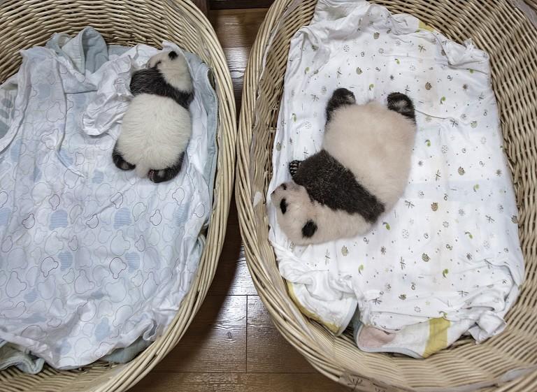 2021新生大熊猫亮相