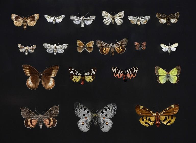 德国灭绝蝴蝶标本
