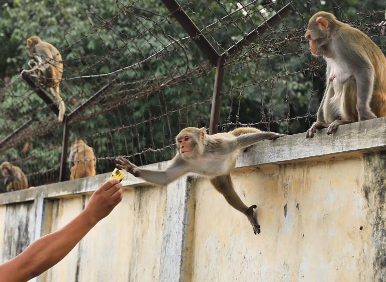 孟加拉国毁林危猴