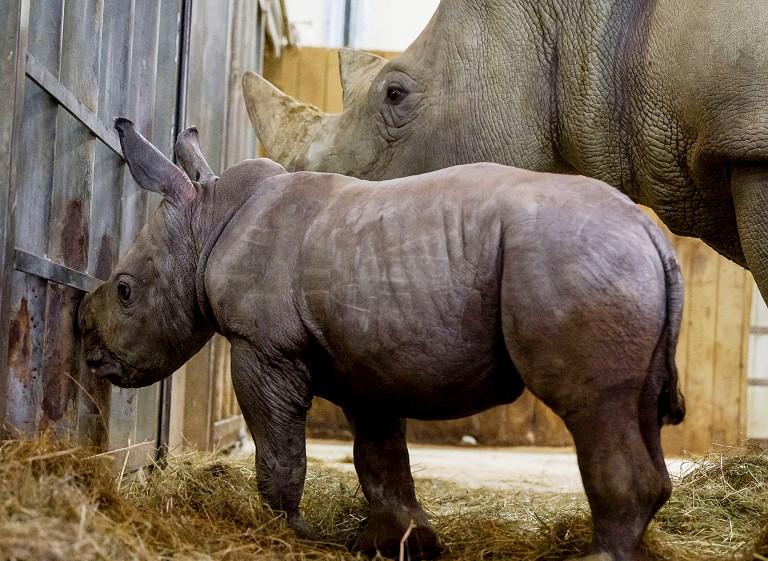 法国新生白犀幼崽