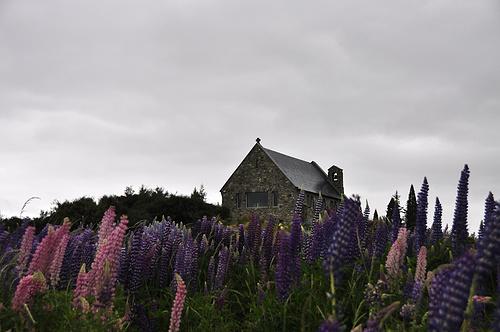 鲁冰花环绕的小教堂
