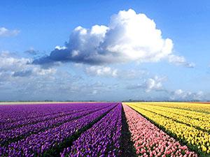 紫粉黄的郁金香田野花海