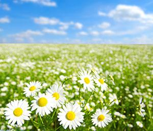 迷人的野白菊花海美景