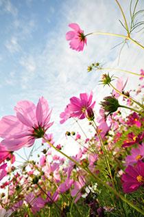 美丽的粉红野菊花