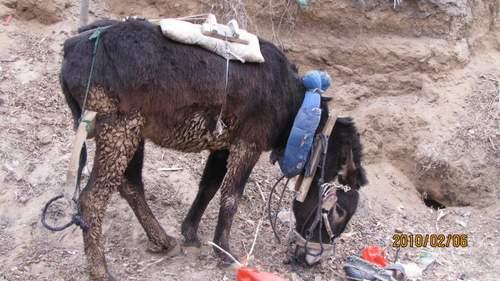 陕北驴的悲惨生活