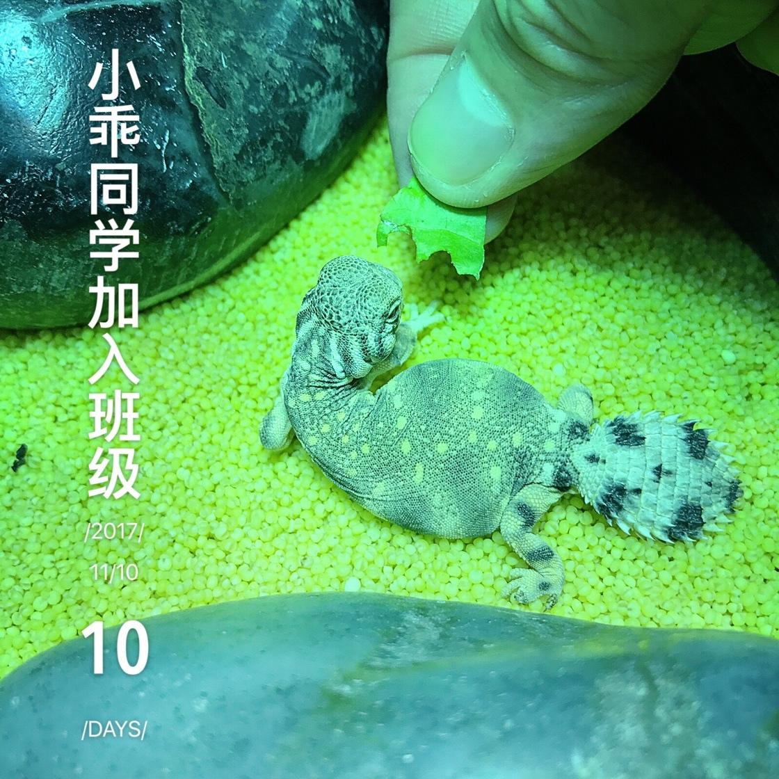 汤玛士王者蜥蜴 Uromastyx thomasi 小乖同学