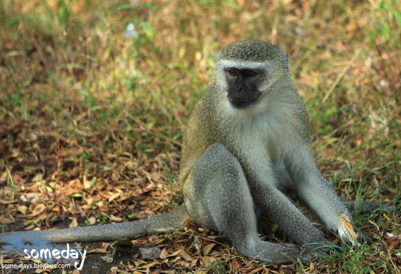 猴子 拷贝
