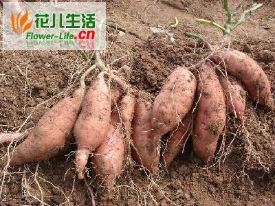 迷你甘薯无公害栽培技术