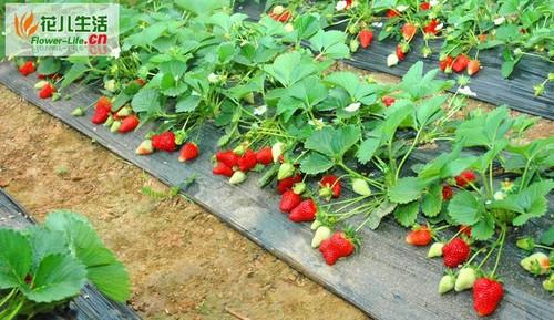 大棚草莓栽培技术要点