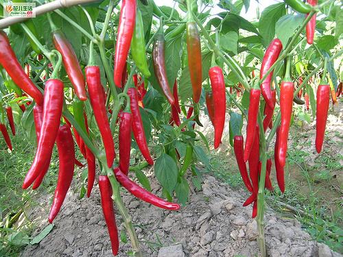 高山辣椒生产技术
