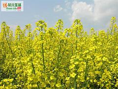 油菜冬季抗旱保苗措施