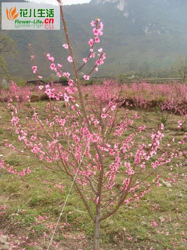 桃树冬剪不宜过早