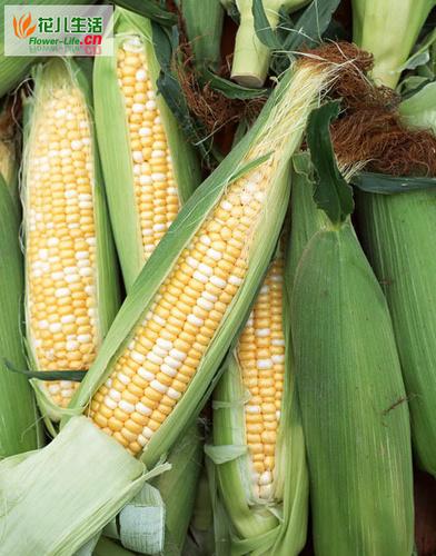 糯玉米获得高产的施肥技术