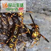 蜜蜂的天敌胡峰危害及防治方法