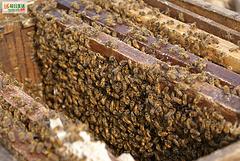 蜜蜂群在流密期的管理细节