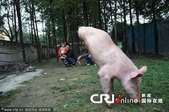 """河南""""猪坚强""""生就两只前腿 练就倒立行走"""