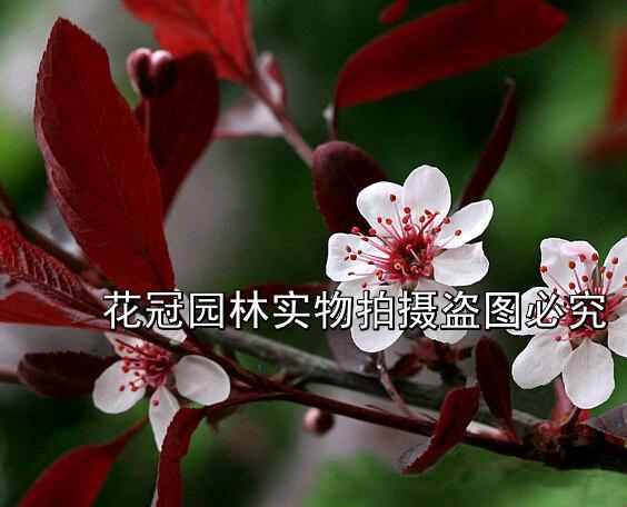 紫叶李|红叶李价格|4公分红叶李价格|紫叶李价格