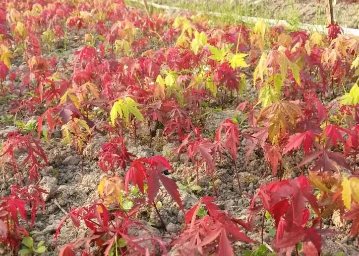 红枫小苗价格|日本红枫|红枫芽苗|鸡爪槭小苗