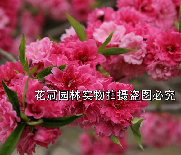 碧桃|紫叶桃|红叶桃|碧桃价格|3公分碧桃价格
