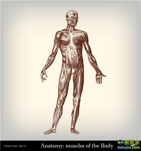 人体结构 人体图片 医学人体素材 医疗人体 矢量44