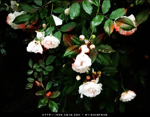 血色蔷薇(拍摄日期:2008年4月13日)