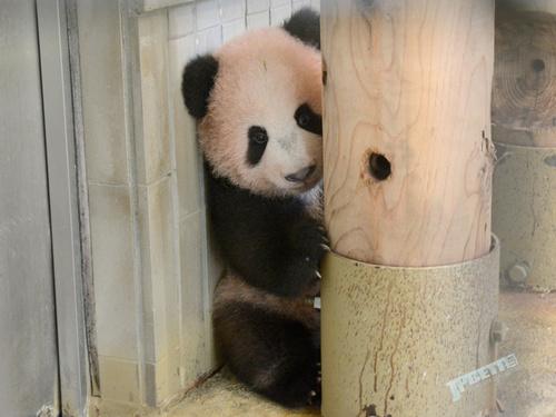几率低过各种UR、SSR、五星,上野动物园新生大熊猫香香参观须抽选